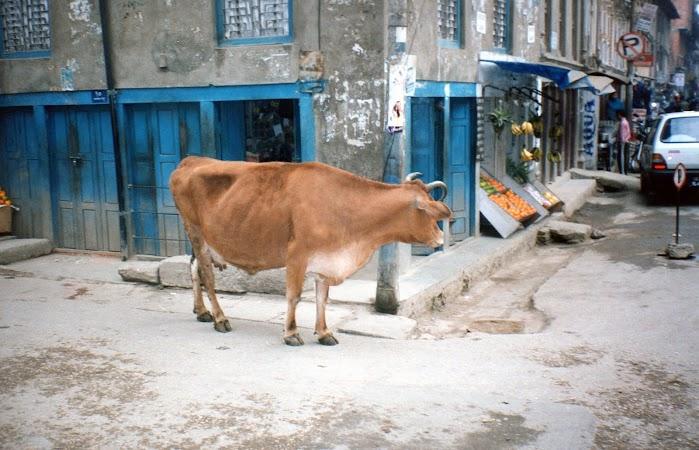 Imagini Nepal: o vaca in Kathmandu