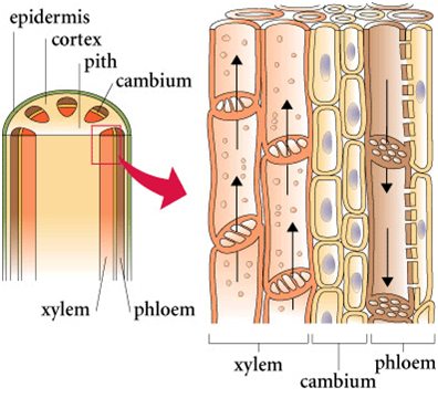 Xylem and phloem