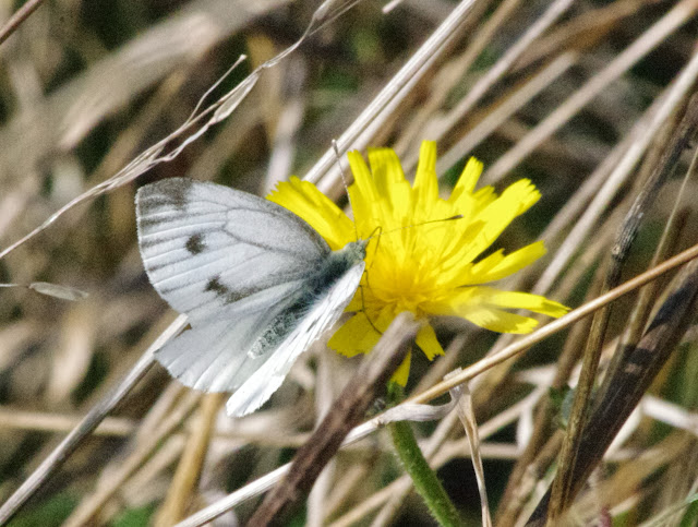 Pieris napi napi (L., 1758), femelle. Les Hautes-Lisières (Rouvres, 28), 21 septembre 2013. Photo : J.-M. Gayman
