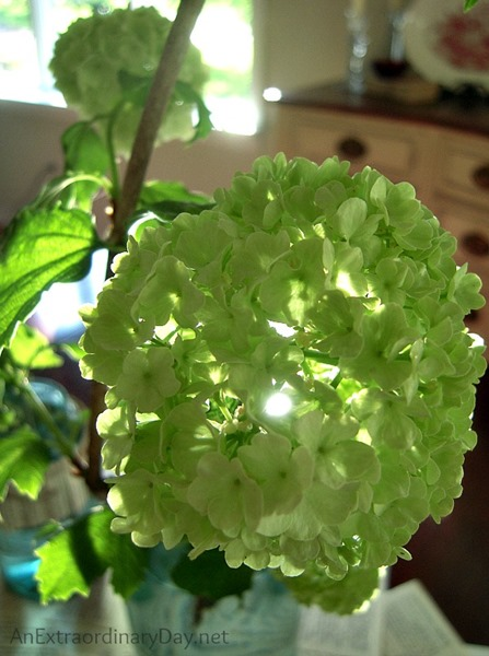 Snowball-Viburnum-as-a-cut-flower-AnExtraordinaryDay.net_