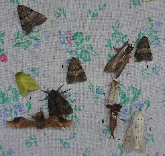 1. Drepanidae : Thyatirinae : Tethea ocularis LINNAEUS, 1767. 2. Nolidae : Chloephorinae : Pseudoips prasinana LINNAEUS, 1758. 3. Notodontidae : Stauropinae : Pheosia rimosa PACKARD, 1864. 4. Notodontidae : Notodontinae : Cerura (Apocerura) erminea ESPER, 1783. 5. Bombycidae : Oberthueria caeca OBERTHÜR, 1880. 6, 7 et 8 : à identifier. Tigrovoy, 22 juin 2011. Photo : J. Michel