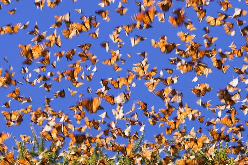 monarch-migration-17