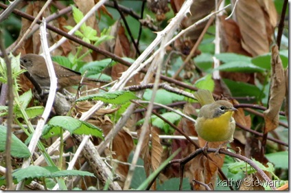 Young Common Yellowthroat and a House Wren!