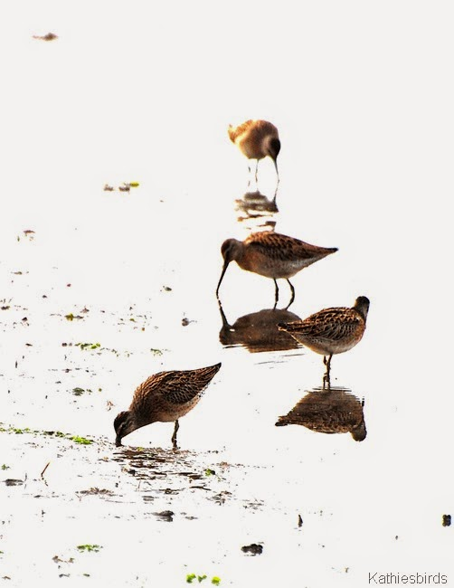 7. dowitchers-kab