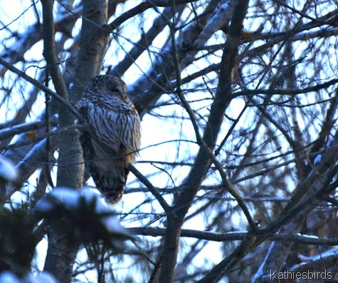 1. barred owl in yard-kab