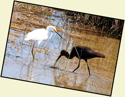 13c - On the trail - Snowy Egret and Glossy Ibis