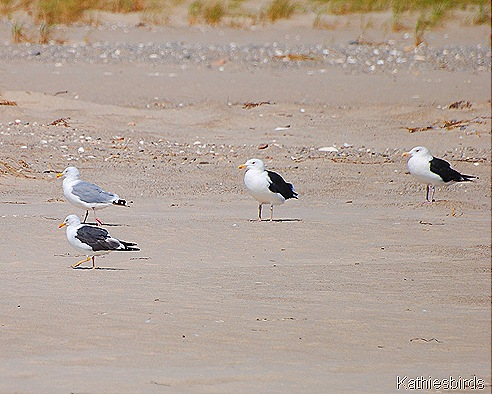 3. gulls on south Beach-kab
