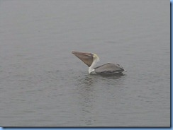 6524a Texas, South Padre Island - Birding and Nature Center - old section of boardwalk - Pelican fishing