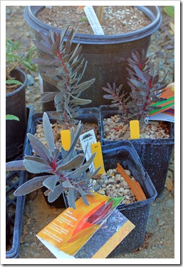 131004_RBG_Fall_Sale_Leucadendron-Ebony_02