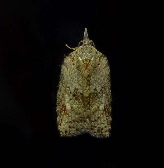 Probablement : Tortricidae : Tortricinae : Epiphyas ashworthana NEWMAN, 1856. Umina Beach (NSW, Australie), 5 juin 2011. Photo : Barbara Kedzierski