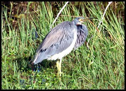 06a Tri-color Heron trying to stay warm