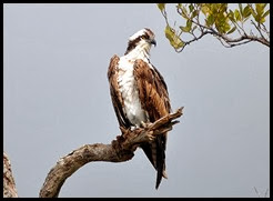 00f2 - Animals - Osprey