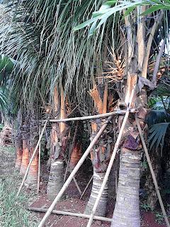 jual pohon kelapa hias | kelapa kuning | kelapa gading