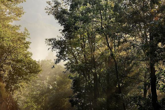 Boscos de Nevà a la vora del riu Rigard, Toses, Ripollès, Girona