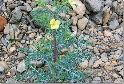 0440 Arteara - S. Fernando (Amapola espinosa)