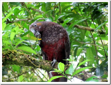 Thes Kaka's are large forest parrots and are endangered.