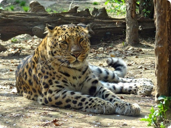 leopardo dell'amur4