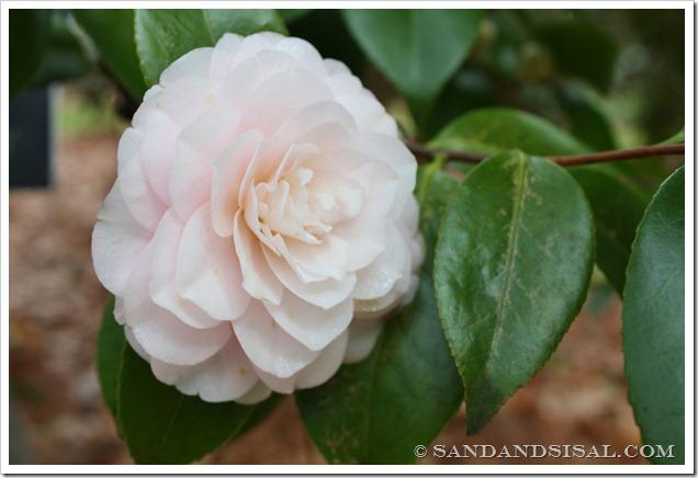 Goggy Camellia (1024x683)
