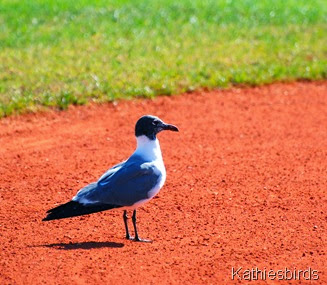 13. laughing gull-kab