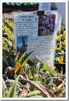 110211_AnniesAnnuals_Echium-wildprettii- -pininana-Mr-Happy_02