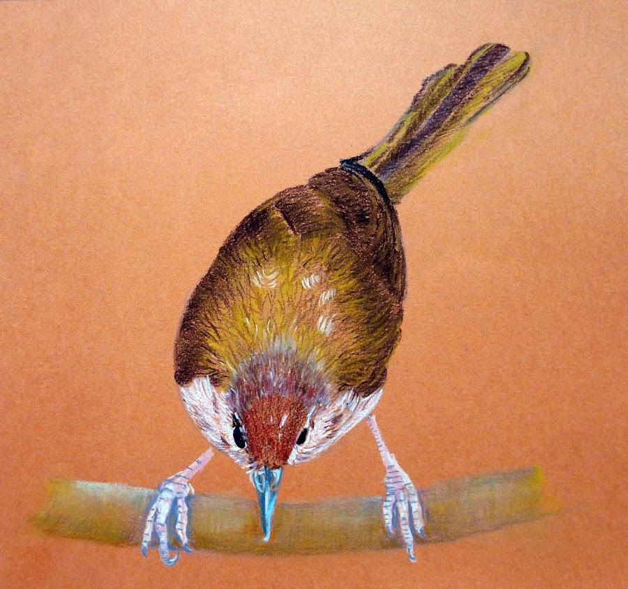 Tailor Bird by Jasna Dragun - Drawing All Drawing ( pastel crayons, freedom, beauty, steady bird, drawing )
