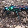 emerald cockroach wasp or jewel wasp