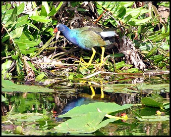 14 - Purple Gallinule
