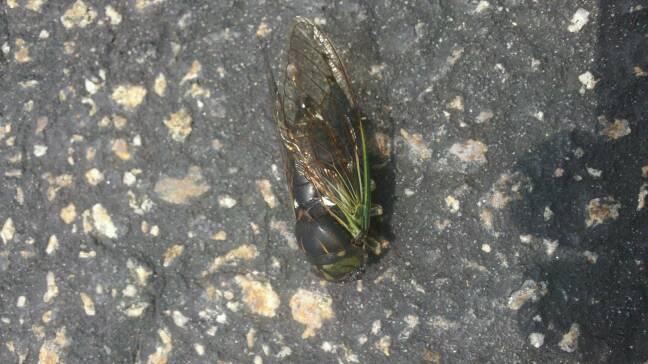 Green Annual Cicada