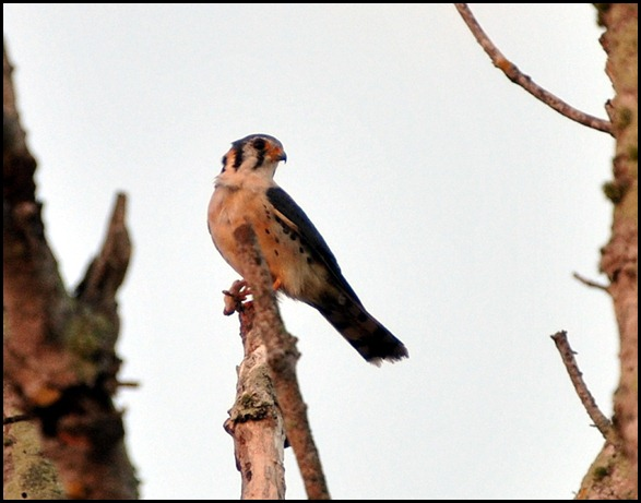 06 - American Kestrel and froggy breakfast