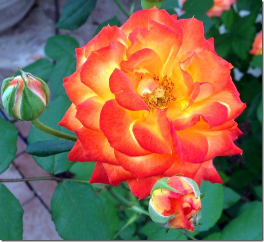 Flame rose2 4-6-2013 8-53-59 AM 1567x1432