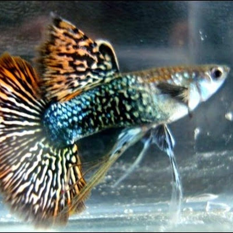 Cara Mudah Budidaya Ikan Guppy 2015 - Dunia Kolam Ikan
