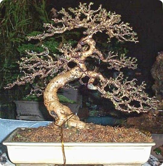 Bonsai Species Guides: Carmona Fukien Tea Bonsai  | The