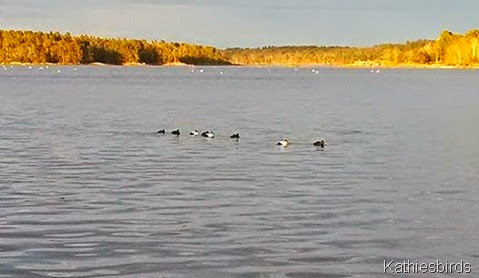 9. 4-27-14 eiders in Mere Point Bay