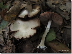 Agaricus cap and stem