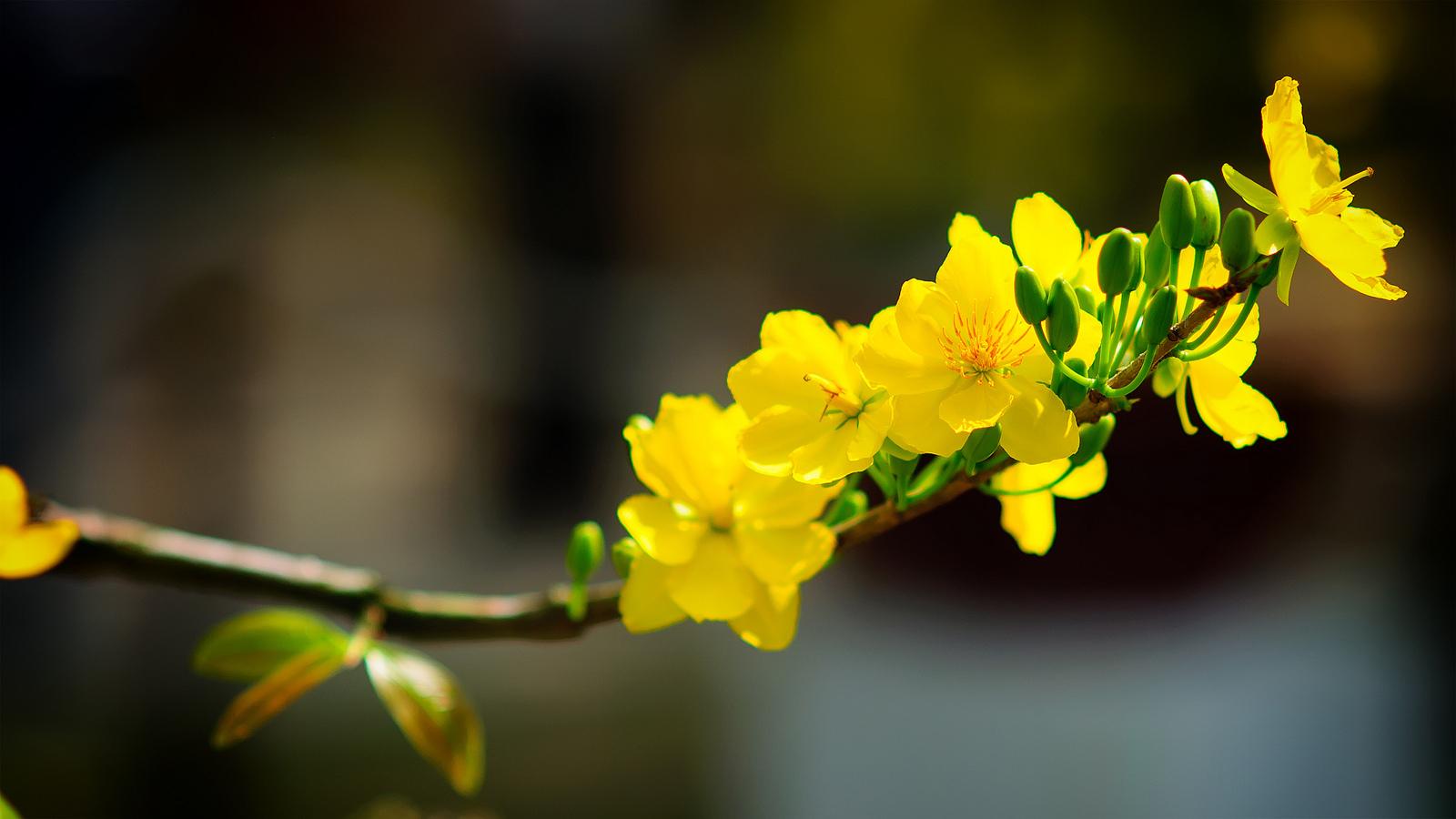 Kết quả hình ảnh cho trà và hoa mai