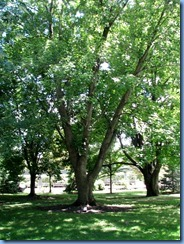 6446 Ottawa 1 Sussex Dr - Rideau Hall - silver maple planted by Nancy Reagan