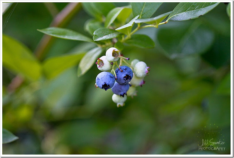 berry-flower-5596