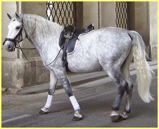 caballo lipizzano