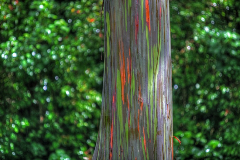 rainbow-eucalyptus-5