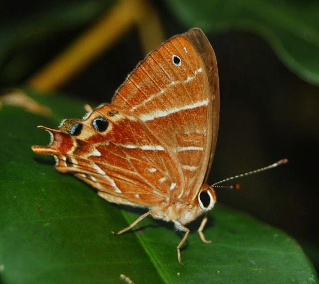 Riodinidae : Saribia tepahi BOISDUVAL, 1833, endémique. Parc National de Mantadia-Andasibe (Madagascar), 30 décembre 2013. Photo : T. Laugier