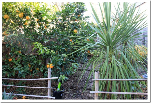 130110_orange cordyline