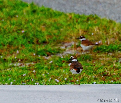 12. killdeer-kab