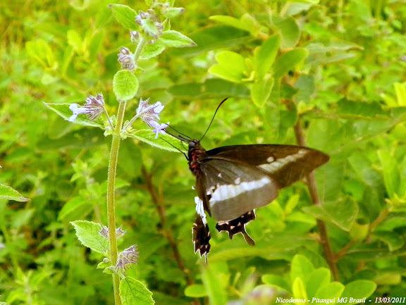 Probablement : Parides bunichus bunichus (HÜBNER, [1821]). Pitangui (MG, Brésil), 13 mars 2011. Photo : Nicodemos Rosa