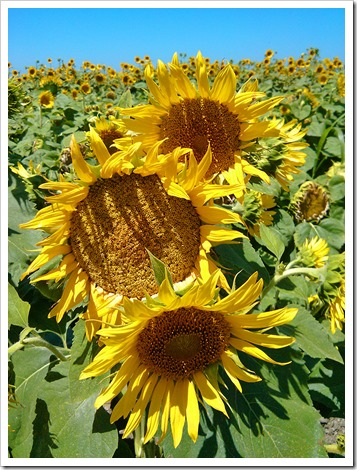 130706_CR102_sunflowers_08