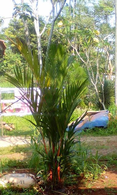 Harga jual pohon palm merah paling murah