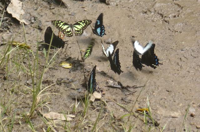Rassemblement de Papilionidae : Papilio epiphorbas BOISDUVAL, 1833, endémique (bleu et noir) ; Graphium endochus (BOISDUVAL, 1836) (blanc et noir) ; Graphium cyrnus (BOISDUVAL, 1836) (vert). Parc de Mantadia (Madagascar), 29 décembre 2013. Photo : J. Marquet