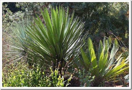 120128_UCBG_Yucca-faxoniana- -Dioon-edule_01