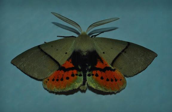 Geometridae : Oenochrominae : Gastrophora henricaria GUENÉE, 1857, mâle. Umina Beach (NSW, Australie), 3 novembre 2011. Photo : Barbara Kedzierski