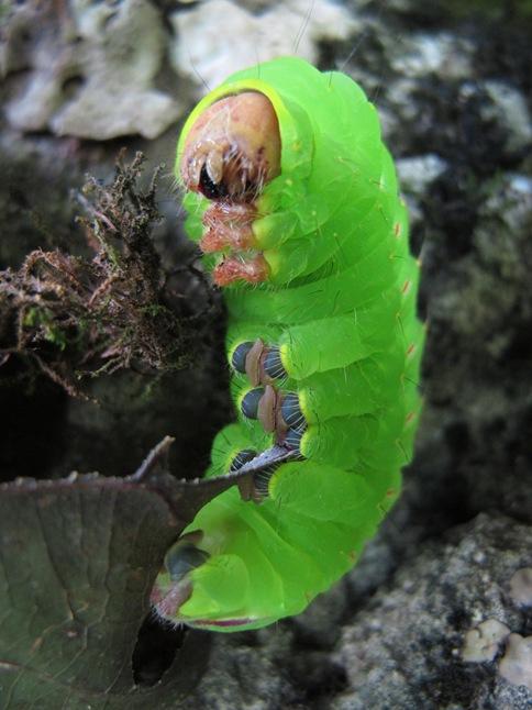 Polyphemus caterpillar underside prolegs