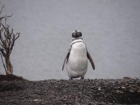 Tara de Foc: Pinguin magelanic